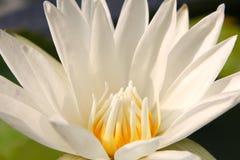 Tło od purpurowego lotosu Zdjęcia Stock