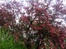 tło odosobnionej wiosny drzewny biel Zdjęcia Royalty Free