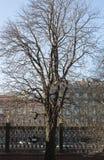 tło odosobnionej wiosny drzewny biel Obraz Royalty Free