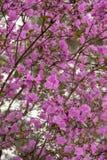 Tło ogromna liczba kwiatu maralnik menchie Obrazy Royalty Free