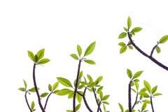 Tło Plumeria drzewo Zdjęcia Stock