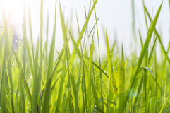 Tło rosa krople na jaskrawym - zielona trawa Obraz Stock