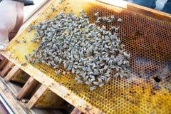 Tło tekstura i wzór sekcja wosku honeycomb Obrazy Royalty Free