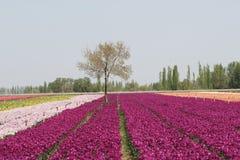 tło tulipany Fotografia Royalty Free