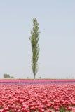 tło tulipany Obraz Stock