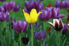tło tulipany Zdjęcia Royalty Free