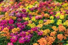 Tło wizerunek kolorowi kwiaty, Kolorowi kwiaty Fotografia Stock