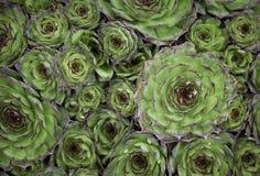 Tło zasadza kaktusy Zdjęcia Stock