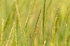 Tło zieleni spikelets dzika natury trawa Fotografia Royalty Free
