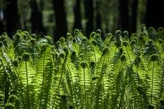 tła paproci zieleni drzewa Zdjęcie Royalty Free