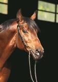 tła podpalany ciemnego konia portret Obrazy Stock
