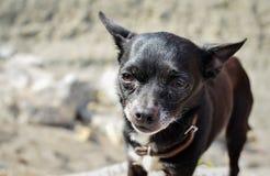 tła psi portreta teriera zabawki biel Fotografia Royalty Free