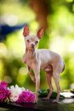 tła psi portreta teriera zabawki biel Zdjęcie Stock