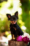 tła psi portreta teriera zabawki biel Fotografia Stock