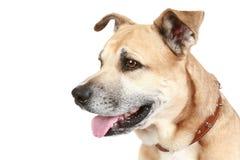 tła psi Staffordshire teriera biel Zdjęcie Royalty Free