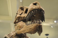 T Rex 2! Arkivfoto