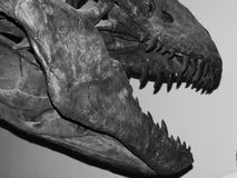 T. Rex bones. Jawbone of dinosaur bones from exhibition in black and white teeth Royalty Free Stock Photos