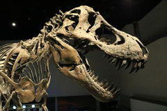 T-rex dans un musée Photo stock
