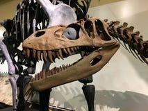 T-Rex huvud i det nationella museet av naturvetenskaper arkivbilder