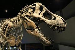T-rex i ett museum Arkivfoto