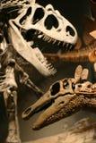 T-Rex Skeleton. Trex and Stegosaurus dinosaur skeleton's Royalty Free Stock Photos