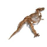 T-Rex Skeleton Royalty Free Stock Photography