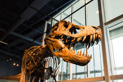 T-rex skeleton displayed - side view Stock Photo