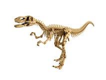 T-Rex skeleton isolated Stock Photos