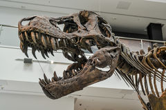 T Rex skeleton Royalty Free Stock Photo