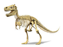 T-Rex skeleton. on white background. Royalty Free Stock Photography