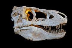 T rex skull Stock Image