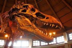 T-Rex Tyrannosaurus Rex kościec Zdjęcia Stock