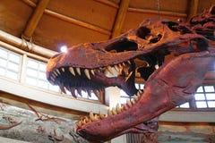 T-Rex Tyrannosaurus Rex kościec Zdjęcia Royalty Free