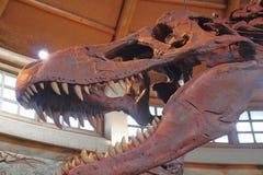 T-Rex Tyrannosaurus Rex kościec Fotografia Stock