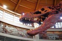 T-Rex Tyrannosaurus Rex Skeleton Stock Photo