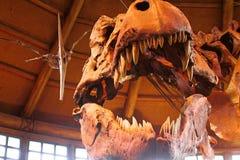 T-Rex Tyrannosaurus Rex Skeleton Royalty Free Stock Photos