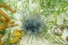 Tęsk spined dennego czesaka podwodnego na seafloor Obrazy Stock