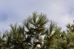 tła sosnowy nieba drzewo Obrazy Royalty Free
