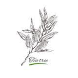 T-Stück Baum Gezeichnete Sammlung des Vektors Hand Natürliche Kräuter und Blumen Schönheit und Ayurveda Organische Kosmetik vektor abbildung