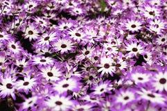 tła stokrotek purpurowy biel Obraz Royalty Free