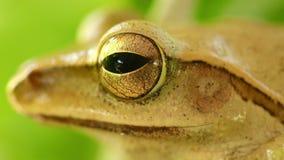 T?te de grenouille d'arbre macro et charge statique d'or d'oeil ?troitement  banque de vidéos