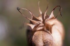T?te de plante m?dicinale d'opium photographie stock