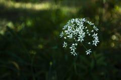 T?tes de floraison blanches d'ail d'ail, connues sous le nom d'ail, oignon chinois, ail oriental, poireau chinois, fleurissant en photos libres de droits