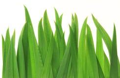 tła trawy zieleni odosobniony biel Fotografia Stock