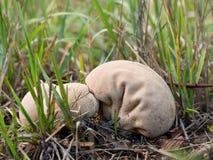 Tłuczek purchawki grzyb, pieczarka Calvatia, lycoperdon excipuliformis Obrazy Stock