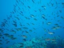 Tłum ryba, morze cortez, baj California Obrazy Stock