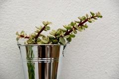 Tłustoszowaty chabeta kwiat w garnku Obraz Royalty Free