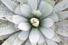 Tłustoszowaty kaktus w ogródzie Zdjęcie Stock