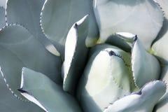 Tłustoszowaty kaktus w ogródzie Zdjęcia Royalty Free