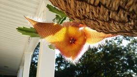Tłustoszowaty kwiat Obraz Royalty Free